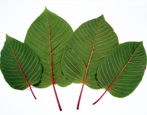 Kratom Leaf Recipes Lost Springs